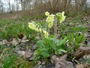 The Oxlip, Primula elatior