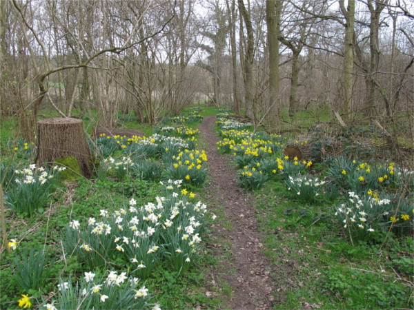 Daffodils along the main path