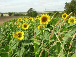 Sunflowers, not wildflowers but still very attractive.